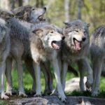 lupii ataca turmele din Germania