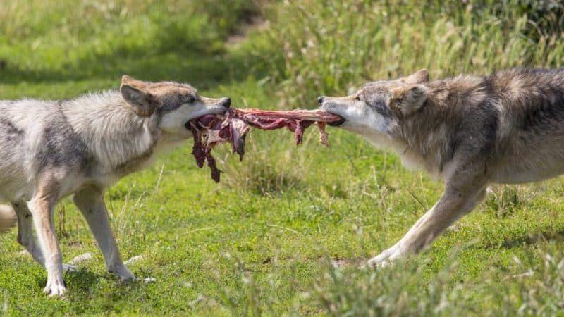 lupii atacă turmele din Germania